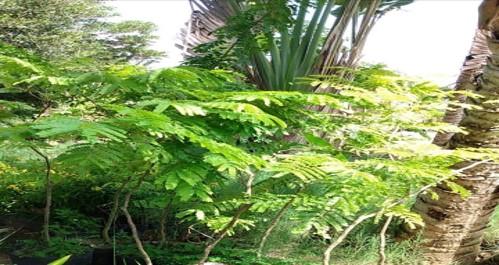 15 - muda de sibipiruna